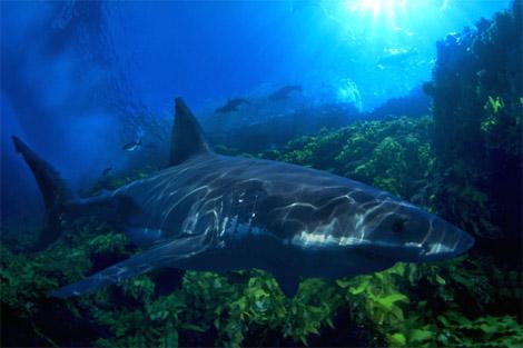 Le requin blanc s'affaiblit et risque de disparaître